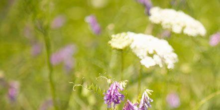 Plant, Flower, Purple, Flowering plant, Shrub, Lavender, Wildflower, Violet, Subshrub, Herbaceous plant,