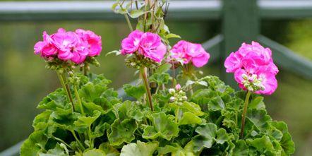 Plant, Flower, Shrub, Petal, Pink, Magenta, Flowerpot, Flowering plant, Annual plant, Houseplant,