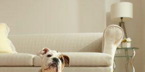 Wood, Floor, Room, Dog breed, Flooring, Interior design, Dog, Hardwood, Carnivore, White,