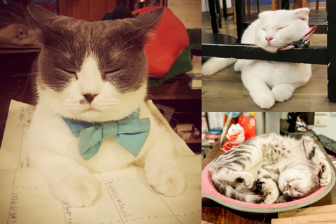 Vertebrate, Organism, Carnivore, Small to medium-sized cats, Felidae, Whiskers, Cat, Snout, Fur, Bow tie,