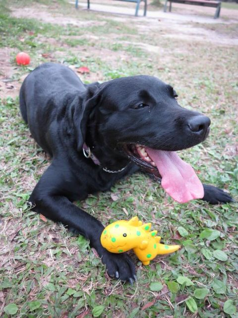 Dog breed, Dog, Carnivore, Vertebrate, Dog supply, Snout, Toy, Sporting Group, Collar, Stuffed toy,