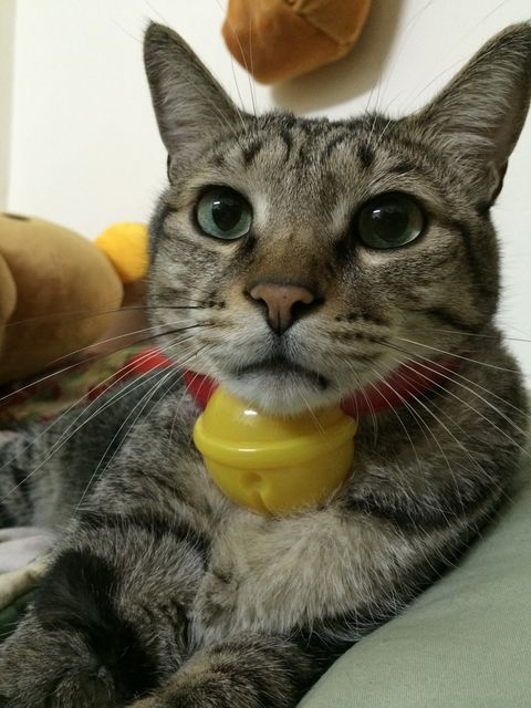 Whiskers, Vertebrate, Carnivore, Felidae, Small to medium-sized cats, Cat, Snout, Iris, Pet supply, Fur,