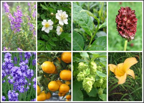 Flower, Petal, Lavender, Purple, Citrus, Ingredient, Fruit, Natural foods, Wildflower, Annual plant,