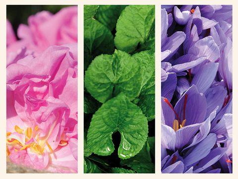 Petal, Purple, Leaf, Flower, Violet, Pink, Colorfulness, Botany, Lavender, Magenta,