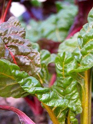 Leaf, Leaf vegetable, Chard, Purple, Rhubarb, Herb, Produce, Vegetable, Whole food, Annual plant,