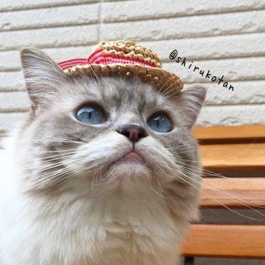 Whiskers, Cat, Vertebrate, Small to medium-sized cats, Carnivore, Felidae, Iris, Snout, Beige, Fur,