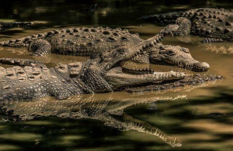 Nature, Organism, Crocodilia, Alligator, Vertebrate, Crocodile, American crocodile, Adaptation, Terrestrial animal, Wildlife,