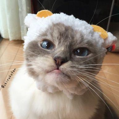 Vertebrate, Whiskers, Carnivore, Felidae, Cat, Small to medium-sized cats, Iris, Snout, Fur, Beige,