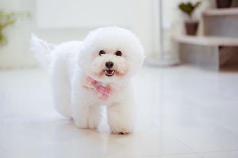 Dog breed, Dog, Carnivore, Vertebrate, Floor, Flooring, Toy dog, Snout, Companion dog, Bichon,