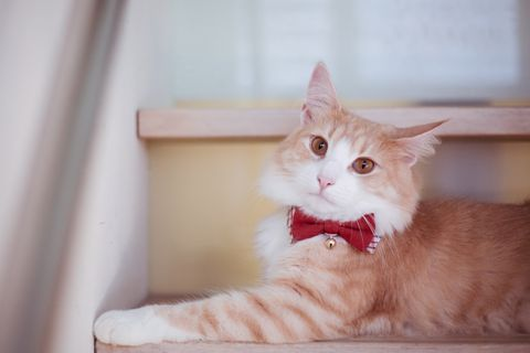 Whiskers, Felidae, Cat, Small to medium-sized cats, Carnivore, Mammal, Comfort, Fur, Peach, Fawn,
