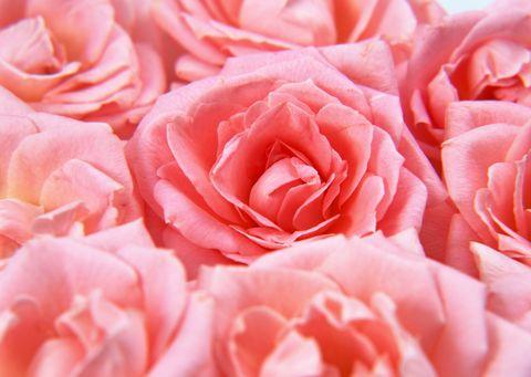 Petal, Flower, Red, Pink, Flowering plant, Rose family, Garden roses, Rose order, Close-up, Peach,