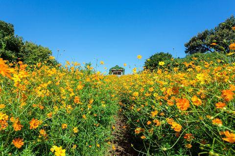 Flower, Plant, Vegetation, Sky, Flowering plant, Sulfur Cosmos, Wildflower, Meadow, Prairie, Field,