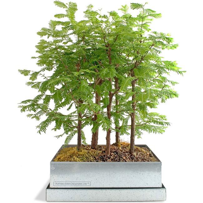 Dawn Redwood Bonsai Forest Kit