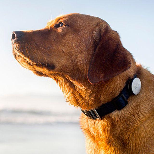 Whistle-Dog-Activity-Tracker-Gear-Patrol-Lead-Full