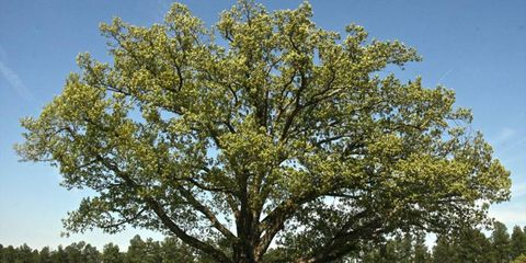 On Tuesday it was reported that the famous oak tree at Virginia International Raceway had fallen.