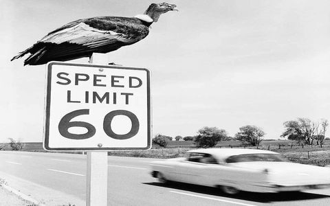 A vulture sits atop at 60-mph speed-limit sign in a photo made to emphasize traffic safety during the highway-jammed 1958 Memorial Day holiday.