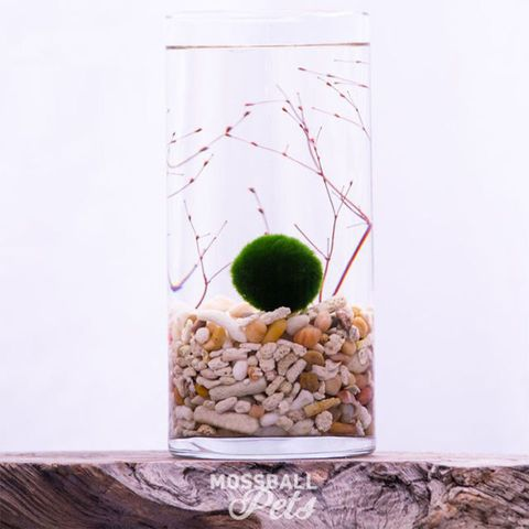 Moss Ball Pets Glass Cylinder Terrarium Starter Kit