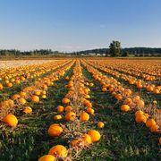 pumpkin patches near new york city