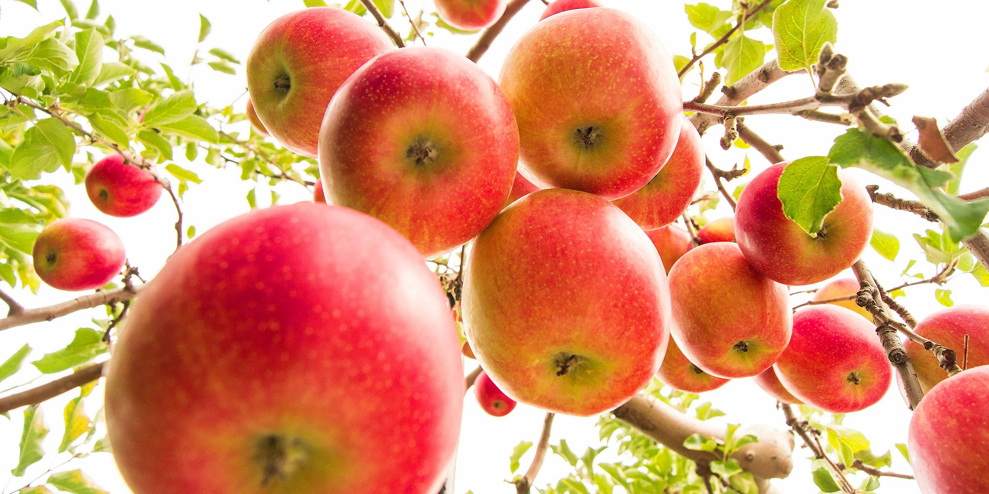 6 Best Places To Go Apple Picking Near Nyc Where To Go Apple