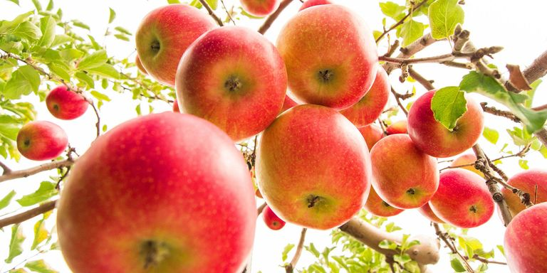 6 Best Orchards For Apple Picking Near Nyc Where To Go