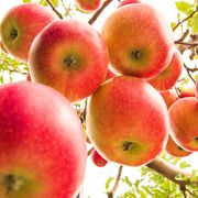 apple picking near NYC