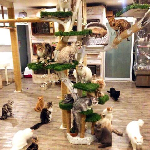 Caturday-cat-cafe