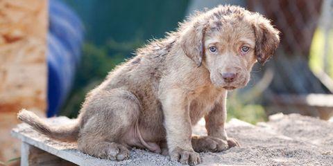 Dog breed, Skin, Carnivore, Dog, Vertebrate, Sporting Group, Snout, Liver, Fawn, Terrestrial animal,