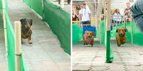 Wiener Dog Races have dachshunds racing every Sunday in Huntington Beach, LA