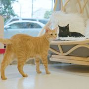 KitTea in San Francisco hosts Caturday, Saturday mornings where you can watch cartoons and eat cereal with your cat