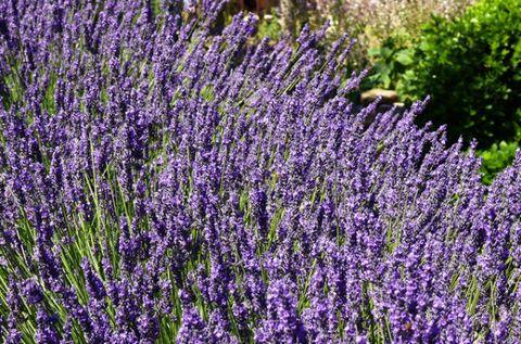 Lavender, Purple, Lavender, Shrub, Violet, Groundcover, Subshrub, Annual plant, English lavender, Herb,