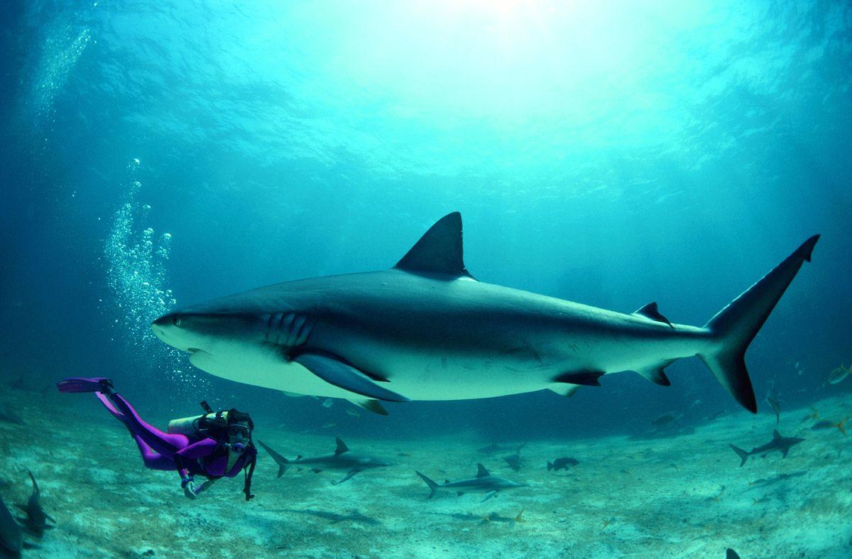 sogni di nuotare con gli squali? suggerimenti per lo shark diving
