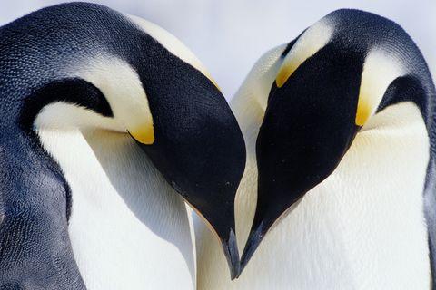 Daytime, Yellow, Natural environment, Vertebrate, Bird, Beak, Organism, Emperor penguin, Flightless bird, Photograph,