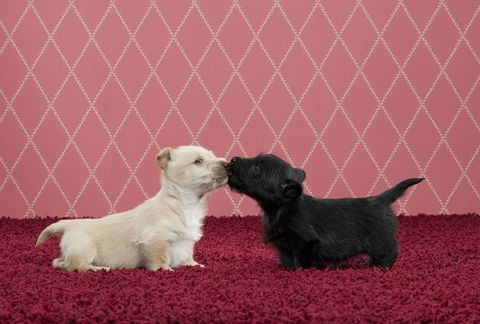 Dog breed, Dog, Carnivore, Puppy, Snout, Terrestrial animal, Working animal, Mesh, Toy, Companion dog,
