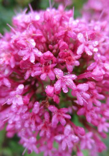 Flower, Petal, Pink, Magenta, Flowering plant, Botany, Shrub, Spring, Annual plant, Subshrub,