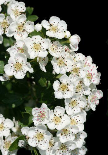 Petal, Flower, Flowering plant, Blossom, Rose order, Pollen, Rose family, Perennial plant, Alyssum, Hawthorn,
