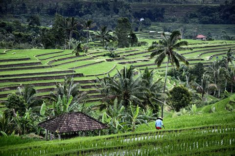 Indonesia, Nusa Tenggara, Bali, farmer in the Jatiluwih rice terraces listed as World Heritage by UNESCO