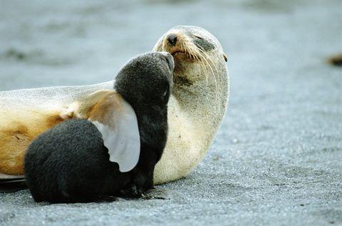 Antarctic fur seal (Arctocephalus gazella) mother holding pup