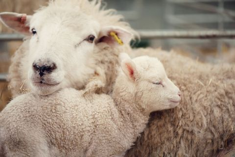 Young lamb and its mother