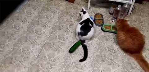 Perché Faresti Meglio A Non Spaventare Il Tuo Gatto Con Un Cetriolo