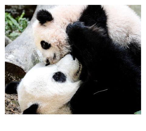 Panda, Bear, Nose, Snout, Carnivore, Terrestrial animal, Sky, Photography, Zoo, Adaptation,