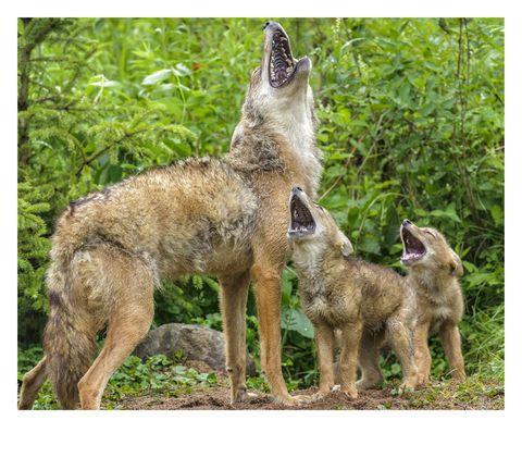Mammal, Vertebrate, Canidae, Dog, Wildlife, Carnivore, Dog breed, Canis, Coyote, Laekenois,