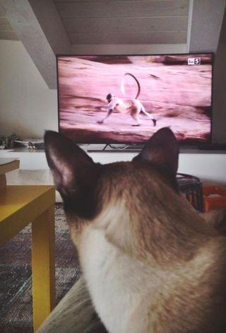 Gatto Siamese Le Cose Da Sapere