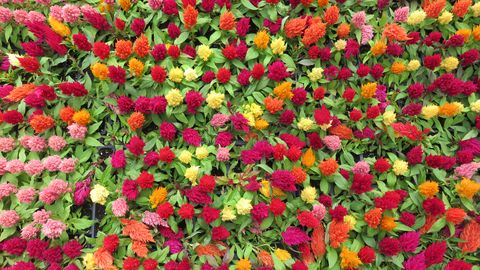 Flower, Red, Pink, Petal, Botany, Garden, Flowering plant, Annual plant, Plantation, Herbaceous plant,
