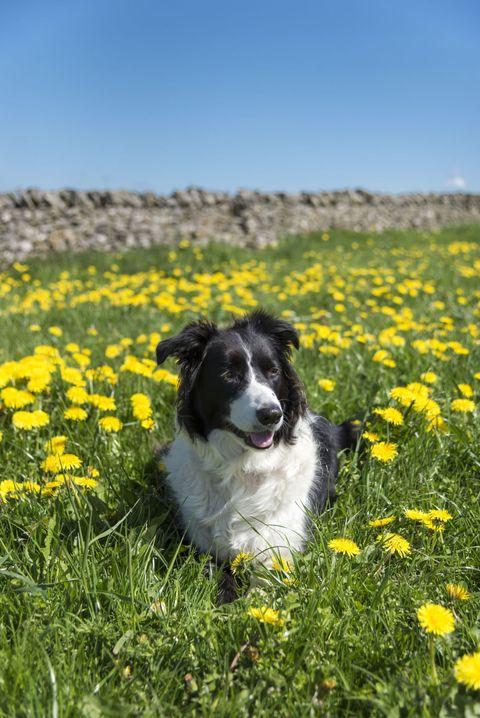 "<p>犬の世界で優等生的存在とも言えるのがこの犬種だそう。<a href=""http://www.goodhousekeeping.com/life/pets/advice/g1825/medium-sized-dogs/?"" target=""_blank"" data-tracking-id=""recirc-text-link"">牧畜犬</a>としても知られるボーダーコリーは、スタンリー・コレンが著書の中でもっとも賢い犬として<a href=""https://www.amazon.com/Intelligence-Dogs-Thoughts-Emotions-Companions/dp/0743280873"" target=""_blank"" data-tracking-id=""recirc-text-link"">認めた</a>犬種。なんでも、新しい命令を<span data-verified=""redactor"" data-redactor-tag=""span"">5</span>秒以内に習得し、<span data-verified=""redactor"" data-redactor-tag=""span"">95</span>%以上の割合でそれに従うことができるというから、下手したら人間よりもお利口さんかも<span data-verified=""redactor"" data-redactor-tag=""span"">!?</span><span class=""redactor-invisible-space"" data-verified=""redactor"" data-redactor-tag=""span"" data-redactor-class=""redactor-invisible-space""></span></p>"