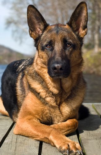 "<p>警察犬、盲導犬、医療支援犬、セラピードッグなどとしても活躍しているジャーマンシェパード。そんな活躍ぶりは、彼らの従順性が高いからこそ。<span class=""redactor-invisible-space"" data-verified=""redactor"" data-redactor-tag=""span"" data-redactor-class=""redactor-invisible-space""></span></p>"