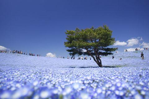 Blue, Winter, Lavender, Snow, Freezing, Conifer, Ice cap, Wildflower, Pine,