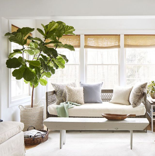 13 Best Indoor Trees Large Indoor Plants For Every Room