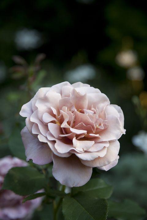 country-garden-rose-0415