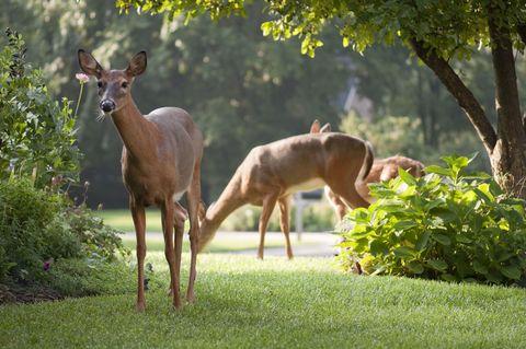 Deer, Terrestrial animal, Adaptation, Antelope, Fawn, Nature reserve, Wildlife, Shrub, Biome, Liver,