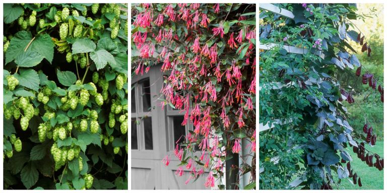 10 fast growing flowering vines best wall climbing vines to plant plant one this spring and it could reach heights of 10 20 even 30 feet by summers end publicscrutiny Choice Image